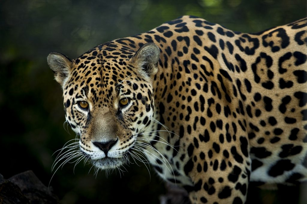 Jaguars are the top predators in their environment- Pixabay